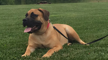 The South African Boerboel