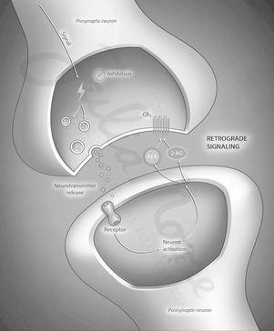 Endocannabinoid Retrograde Signaling