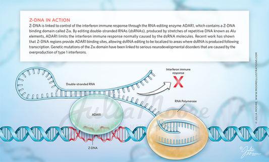 Z-DNA in Action