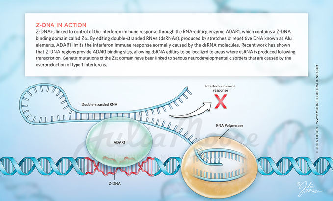Z-DNA in Action