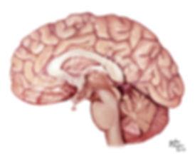 Mooreillustrations Brain.jpg