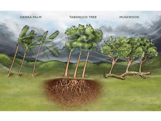 The Scientist: How Trees Fare in Big Hurricanes