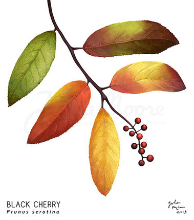 Black Cherry Leaves