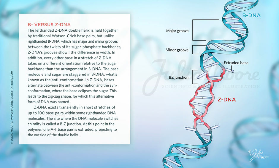 DNA Isn't Always Right-Handed