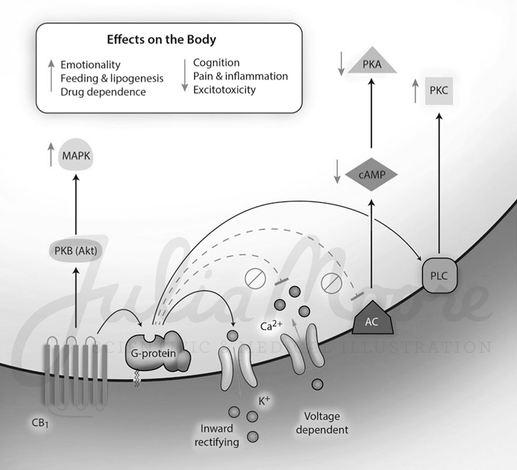 Endocannabinoid Effect on the Body