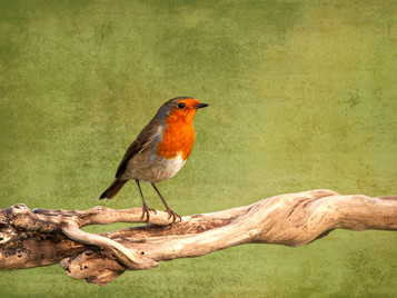 'Robin' by Malachy Coney ( 7.5 marks )