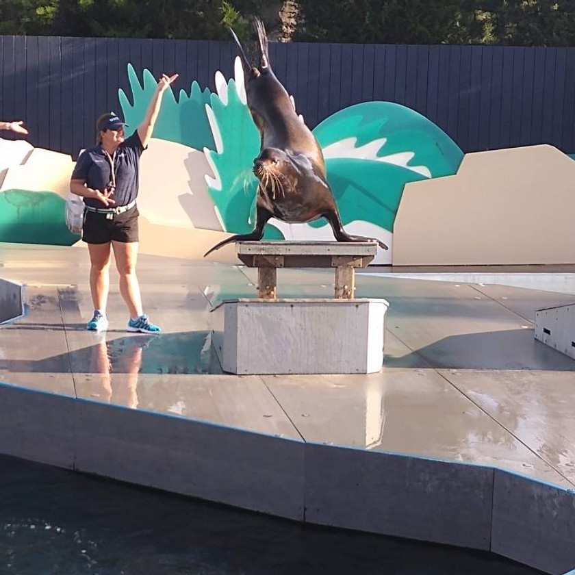 Sea lion standing on flippers with tail in the air