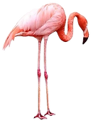 01_Flamingo_edited.png