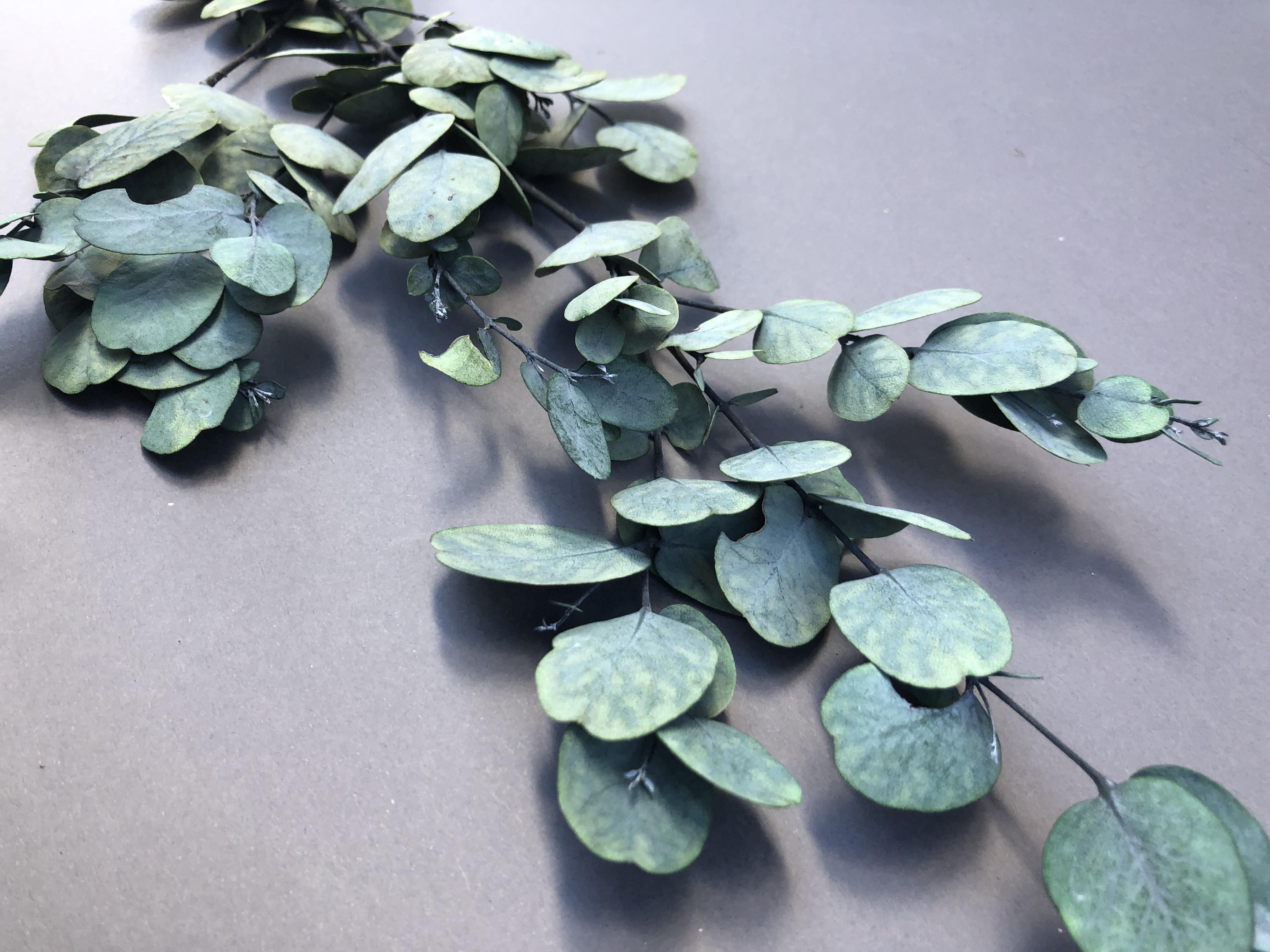 Eucalytus Gunni