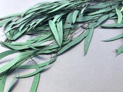 Eucalyptus Willuw