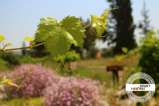 דרכי יין בישראל