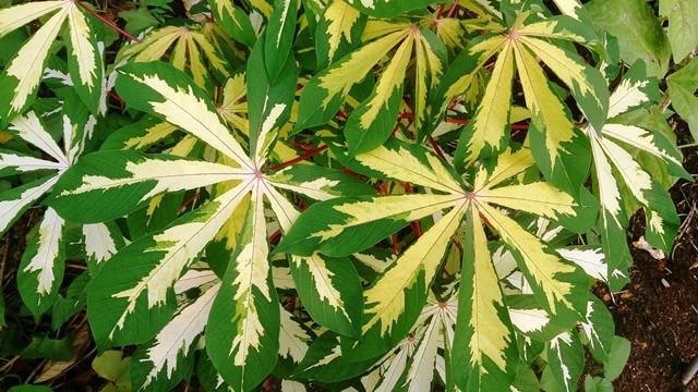 צמח המניהוט
