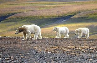 POLAR BEARS.png