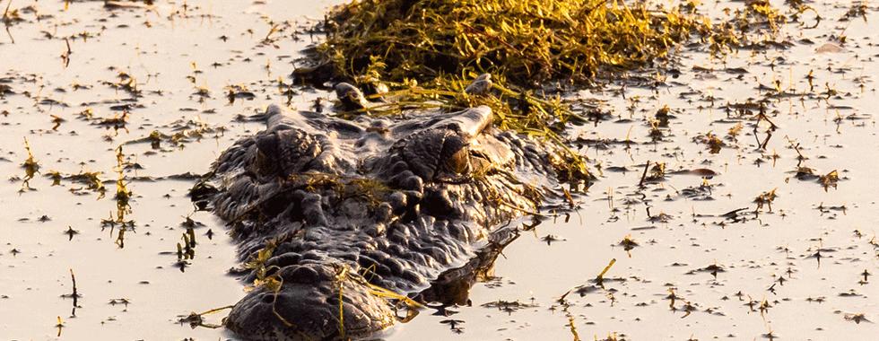 Kimberley Wildlife - Crocodile
