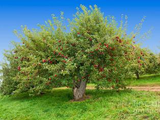 Povestea Mărului