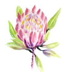 Pretty Pink Protea