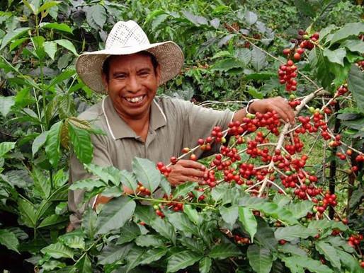 Afecta el cambio climático severamente a los productores mexicanos de café