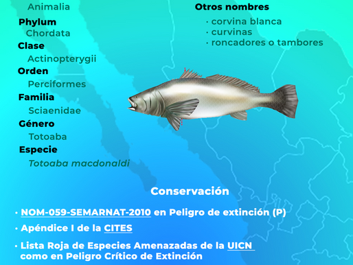 Preocupan a CITES la ilegal pesca de totoaba y la desprotección de la vaquita marina en México