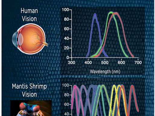 Los ojos del camarón mantis y su labor en el quirófano