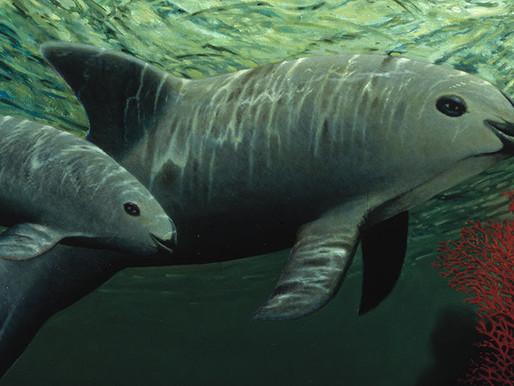 Denuncian a México ante la CCA por omisiones que amenazan la existencia de la vaquita marina