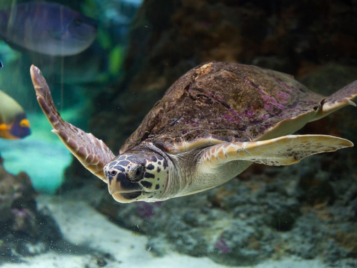 Podría extinguirse la tortuga caguama por incumplimiento de México en su protección