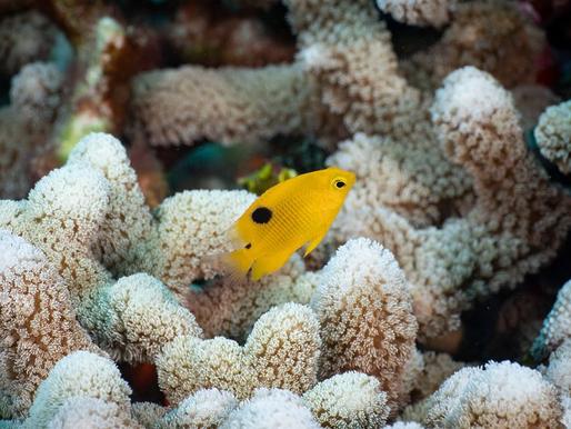 Urge Oceana mayor protección del Arrecife Alacranes