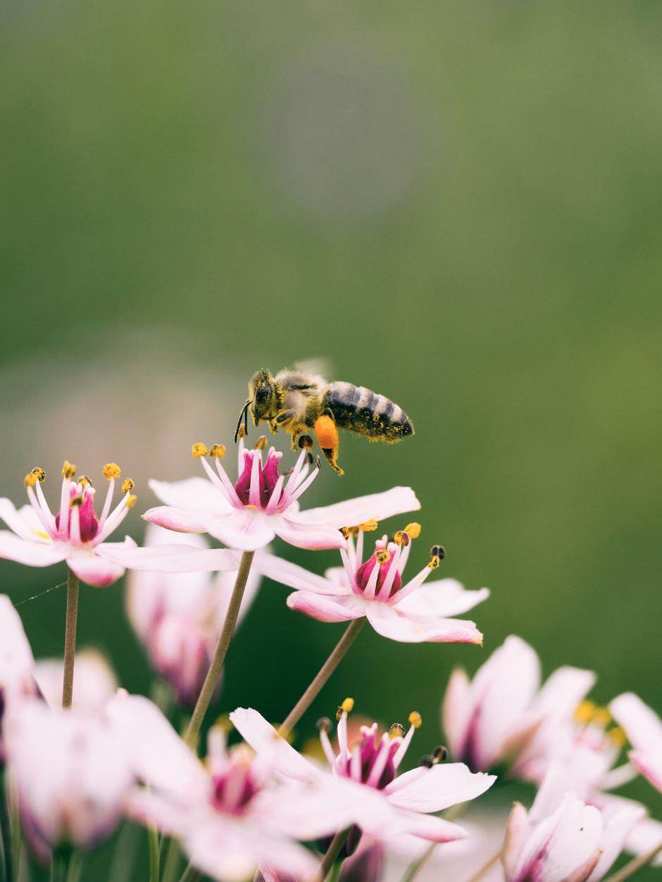 Herbal medicine for hay fever