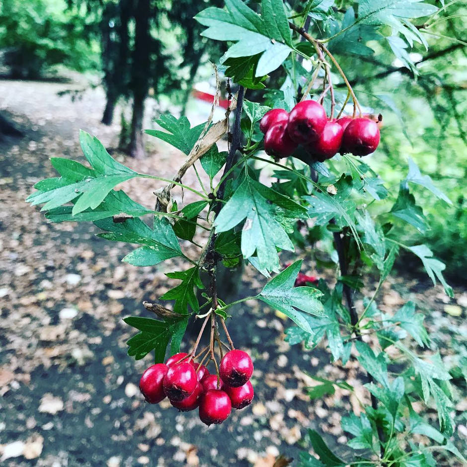 Autumn Hawthorn Harevsting