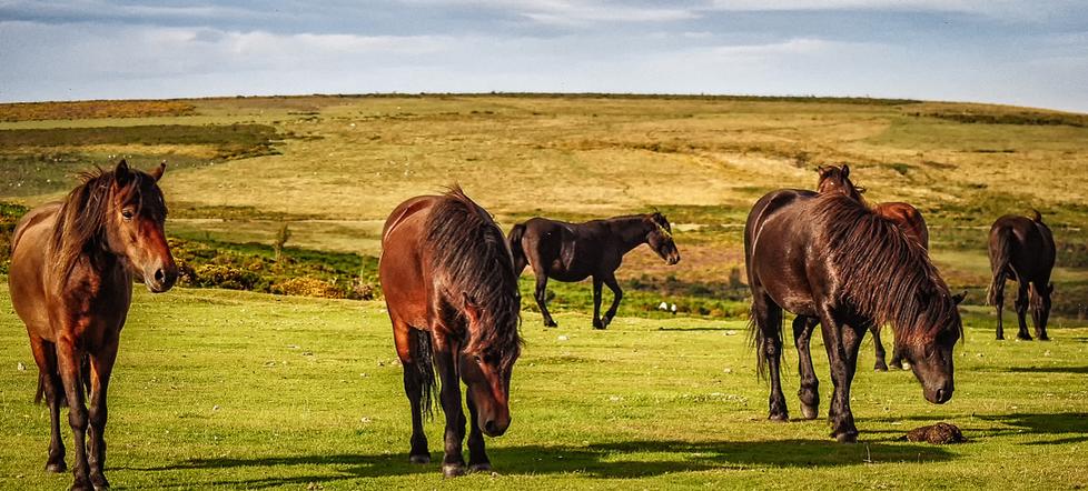Dartmoor Wild Horses