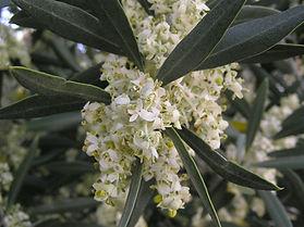 oliveirafl.jpg