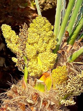 palmeira-anafl.jpg