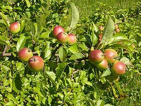 macieira-bravafr.jpg