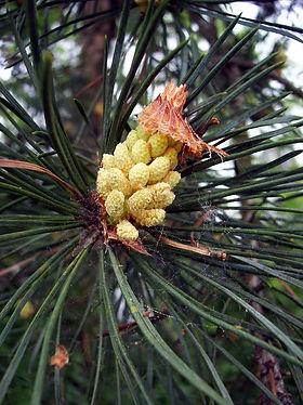 pinheiro-silvestreflor.jpg