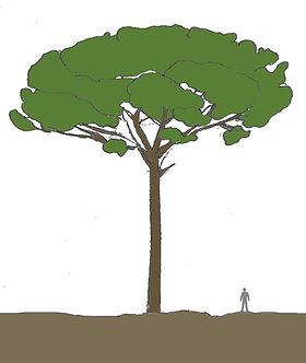 pinheiro-mansodesenho.jpg