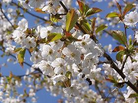 cerejeirafl.jpg