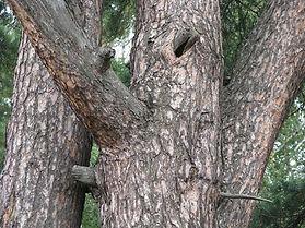 pinheiro-silvestretr.jpg