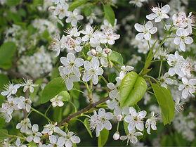 cerejeira-de-santa-luciafl.jpg