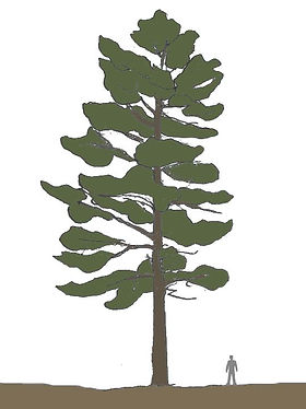 pinheiro-silvestredesenho.jpg