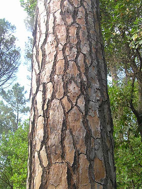 pinheiro-mansotr.jpg