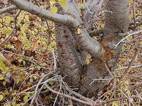 cerejeira-de-santa-luciatr.jpg