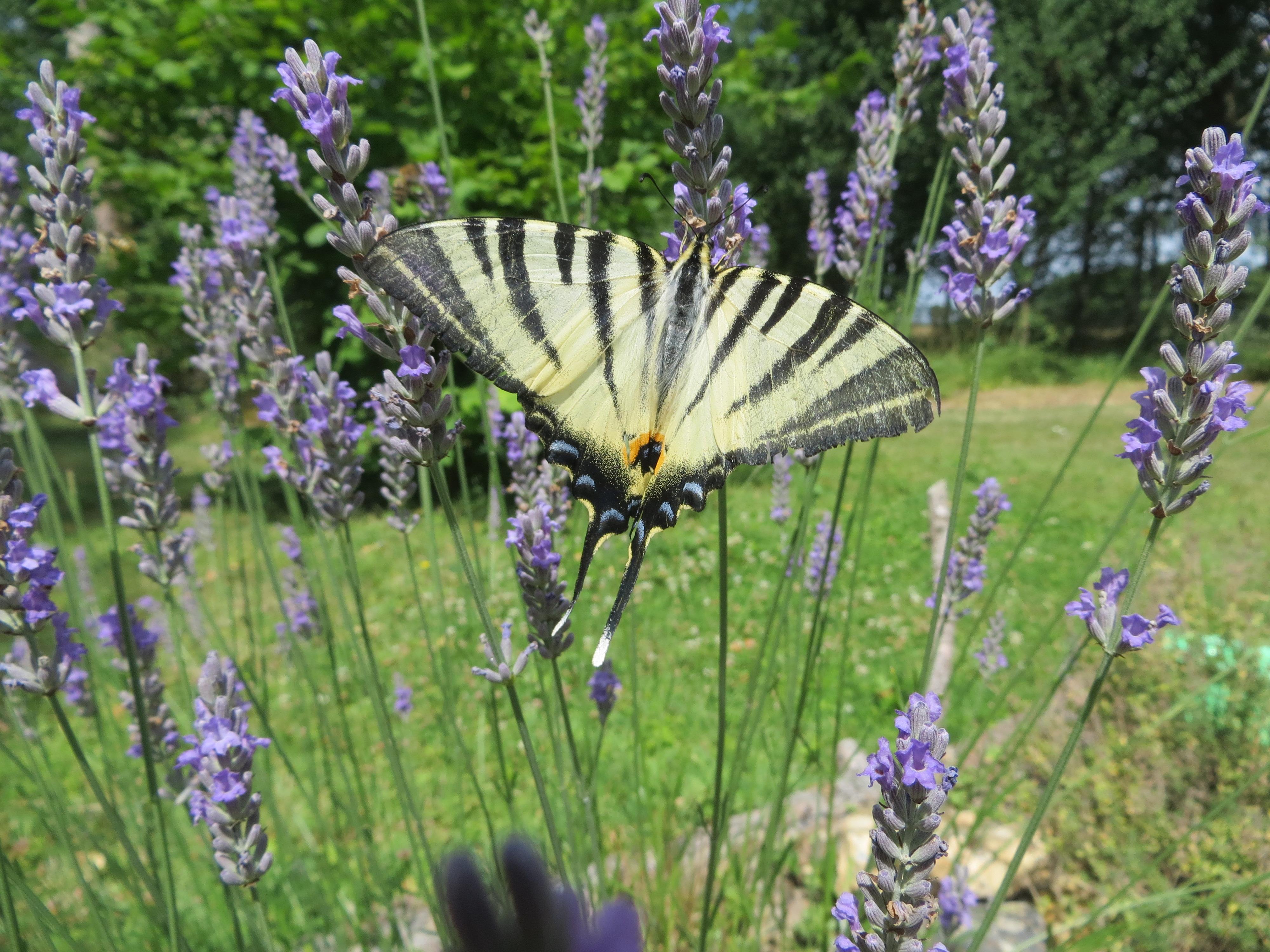 Papillon chez Muriel BAUD-KERJOUAN