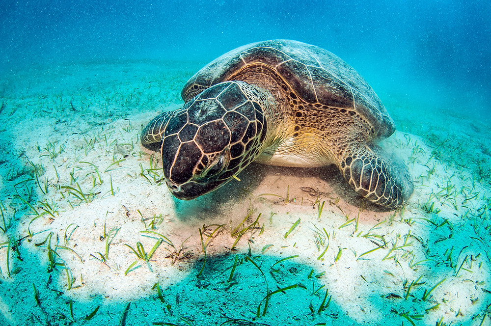 Turtles Navigate 4,500 miles in a straight line