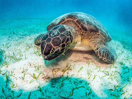 Sammie The Turtle