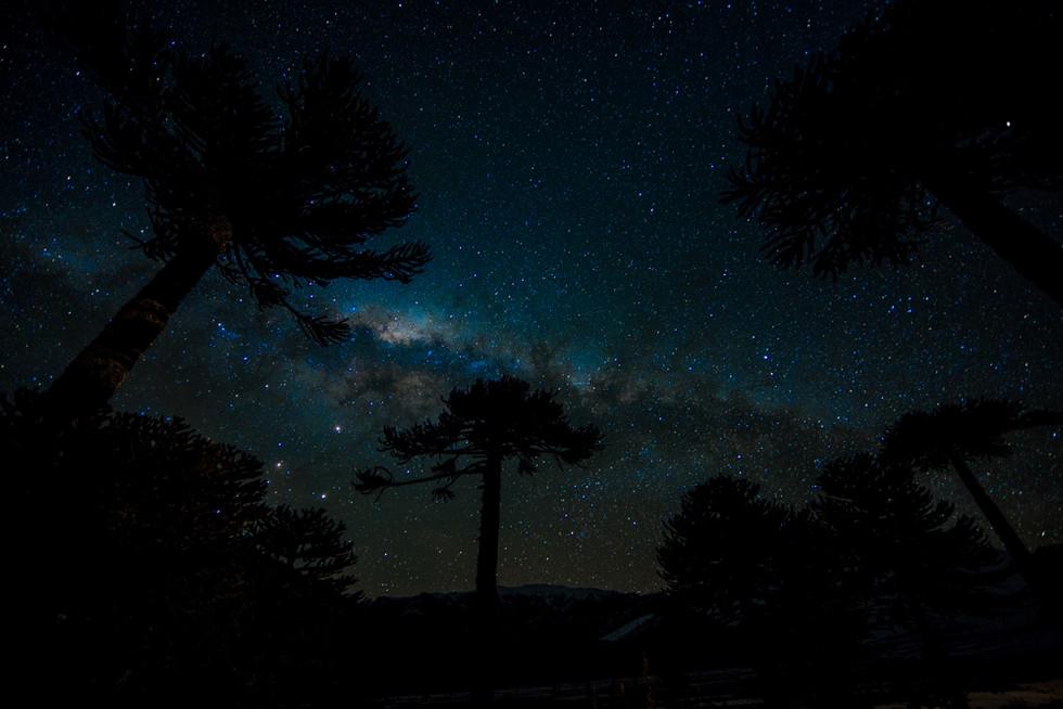 Araucarias - Corralco, Chile