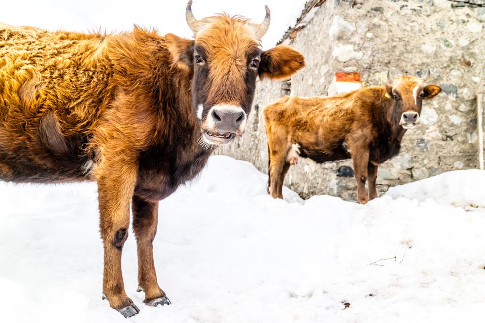 Cows - Mestia, Georgie