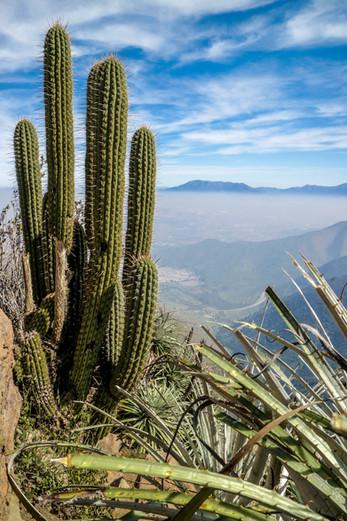 Cactus - Santiago de Chile