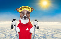 snow skiing dog with red wool sweater.jp