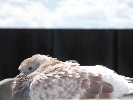 Raising Homing Pigeons