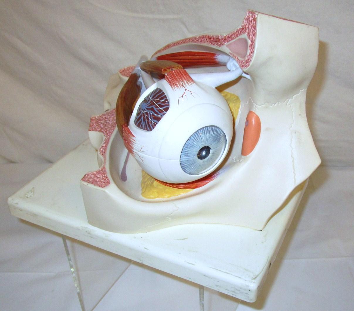 Model - human eye