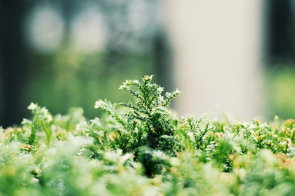 การเก็บรักษามอส (mosses preservation)